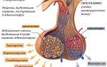 Гормоны долей гипофиза: передней, средней, задней, их функции, особенности строения, развитие, гистологическое и физиологическое значение