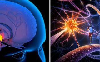 Центры гипоталамуса — нервный, подкорковые, высший, функциональные, латеральные ядра, насыщения, жажды, характеристики основных, высший вегетативный, терморегуляции