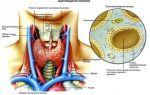 Обследование щитовидной железы (комплексное, полное): с чего начать, где пройти, какие анализы сдать, подготовка и результаты проведения