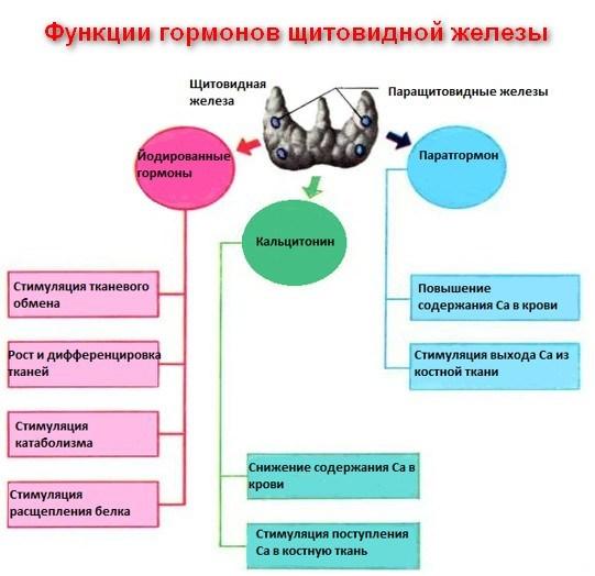 Гормон ТЗ (трийодтиронин): за что отвечает, норма (повышен, понижен) и виды