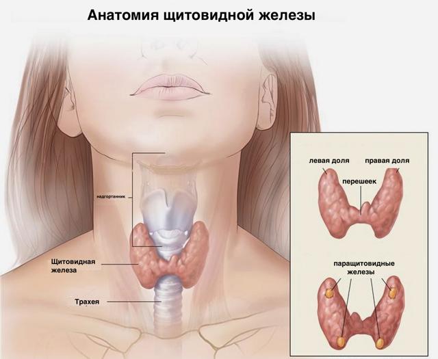 Строение системы кровоснабжения щитовидной железы