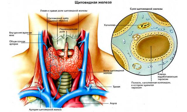Уплотнение щитовидной железы: у женщин, что это значит, причины возникновения