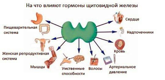 Щитовидная железа и лишний вес