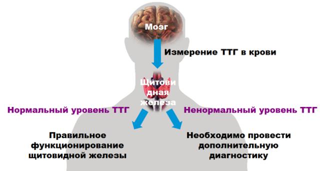 Анализы при гипотиреозе: какие сдавать, подготовка, результаты исследования