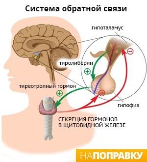 Гипотиреоз у мужчин: лечение, симптомы гипофункции щитовидной железы, причины