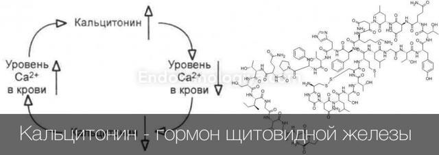 Гормон кальцитонин: норма (таблица), отклонения у женщин (повышен, понижен), анализы, за что отвечает