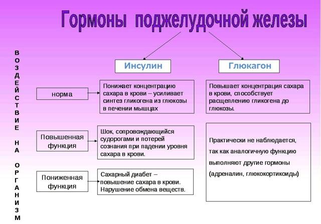 Анатомия поджелудочной железы человека
