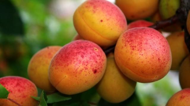 Абрикосы при диабете: можно ли есть свежие и сушеные, косточки, можно ли персики при сахарном диабете
