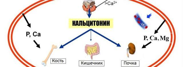 Кальцитонин гормон: какая норма у мужчин и женщин, если анализ повышен, функции