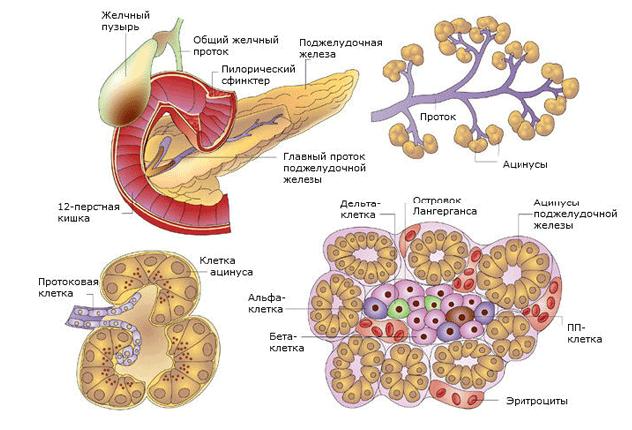Островки лангерганса поджелудочной железы - 5 типов клеток
