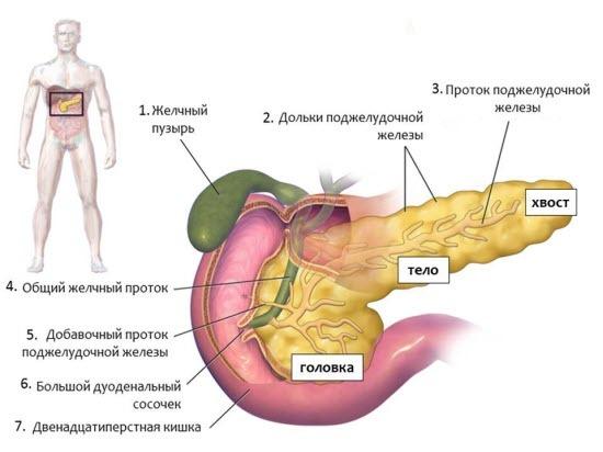 Паразиты в поджелудочной железе человека