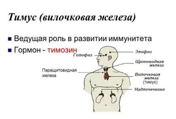 Увеличена вилочковая железа: почему у плода, новорожденного, грудничка, ребенка, взрослых, после прививки, симптомы, лечение, если была в детстве