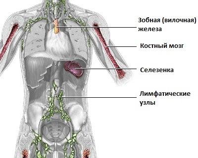 Функции вилоковой железы, ее строение и роль в развитии ребенка, иммунных реакциях в организме, нарушение работы