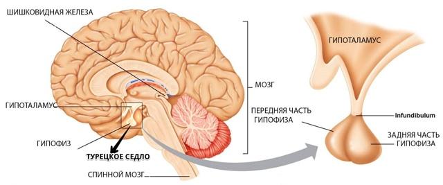 МРТ гипоталамуса: особенности проведения, что показывает обследование мозга