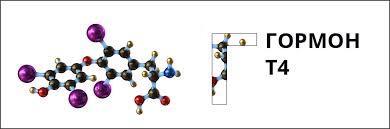 Тироксин гормон: какая железа вырабатывает, состав, действие, норма, повышен, недостаток, свободный