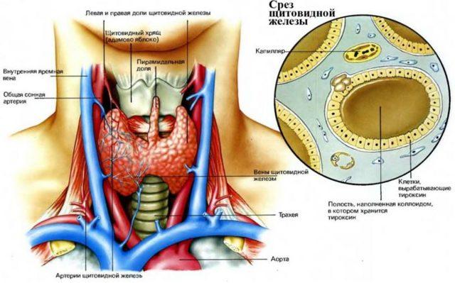 Аутоиммунный тиреоидит Л тироксин: как применять при АИТ