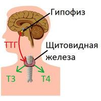 Трийодтиронин свободный (Т3): анализ показателя, норма у женщин, детей, повышен, понижен, разница между общим и свободным