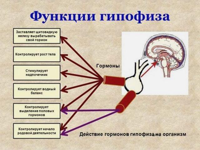 Увеличение гипофиза: основные причины, симптомы, признаки вертикального размера, последствия