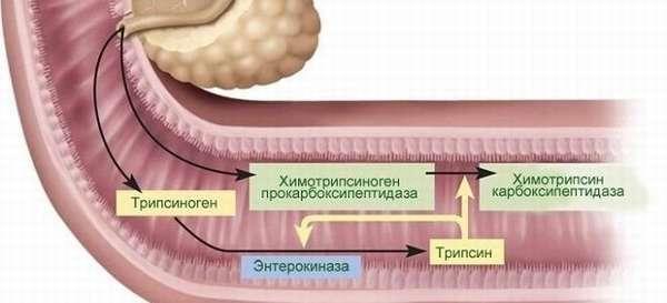 Поджелудочный сок и его ферменты: состав и функции