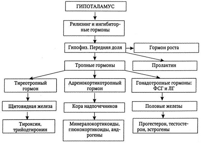 Гонадотропин гормон: хорионический, высвобождающий, ризилинг, механизм действия