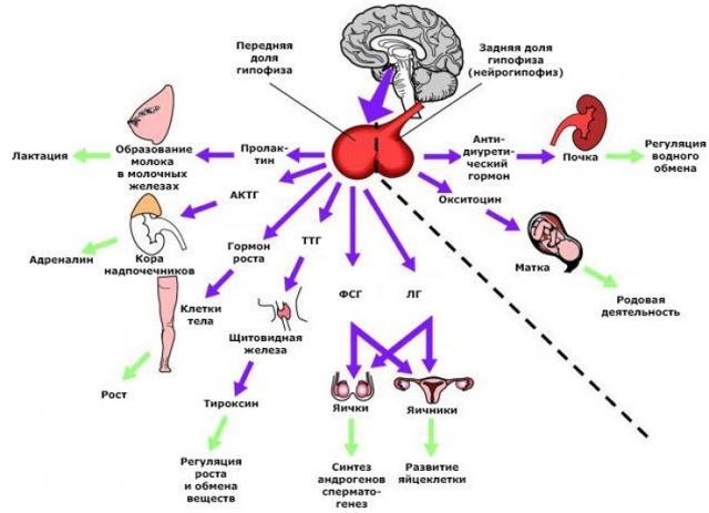Окситоцин гормон: действие, за что отвечает у мужчин и женщин, выброс гормона привязанности, как повысить для родов