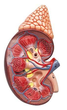 Нейробластома надпочечника: причины и симптомы у детей, взрослых, лечение правого, продолжительность жизни