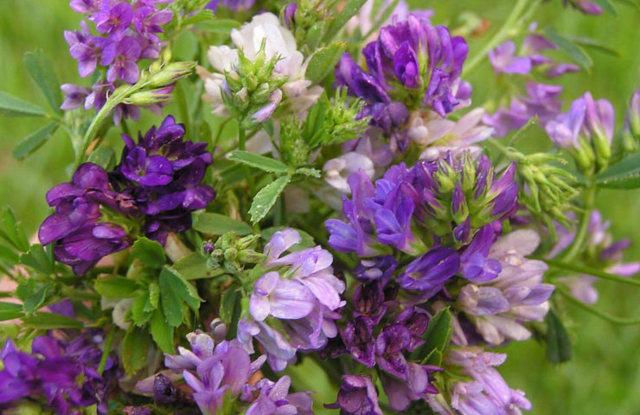 Гормональные травы для женщин: какие нормализуют, восстанавливают фон у женщин, при гормональном сбое, при климаксе