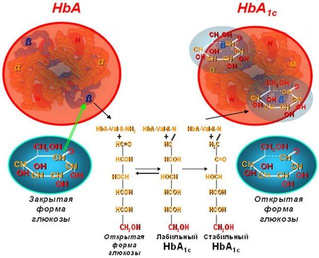 Анализ на гликированный гемоглобин: когда назначают, что показывает общий, по возрасту, подготовка, как правильно сдавать кровь, норма для здорового человека, повышен