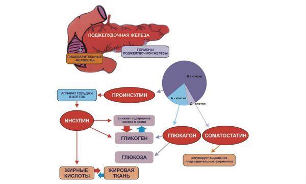 Инсулин вырабатывается в поджелудочной железе