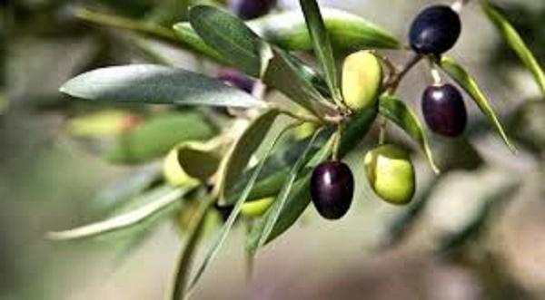 Оливки при панкреатите: можно или нет?