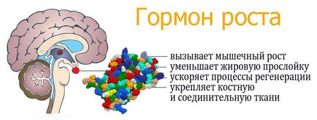 Препараты гормонов гипофиза: какие применяют для передней и задней, для лечения и стимуляции, с активностью гормонов средней доли гипофиза человека