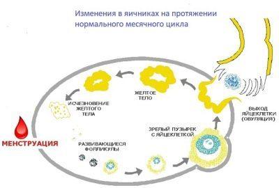 Желтое тело в яичнике: за что отвечает, какой гормон вырабатывает, как ведет себя при беременности