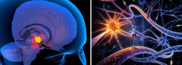 Центры гипоталамуса - нервный, подкорковые, высший, функциональные, латеральные ядра, насыщения, жажды, характеристики основных, высший вегетативный, терморегуляции