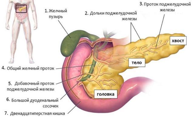 Роль и функции поджелудочной железы в пищеварении - их нарушение