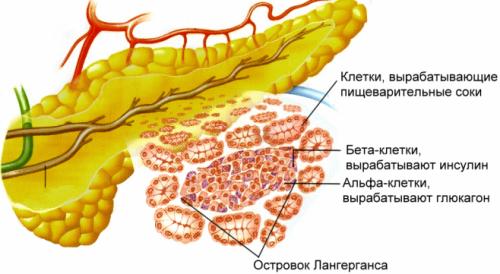 Поджелудочную железу относят к железам смешанной секреции
