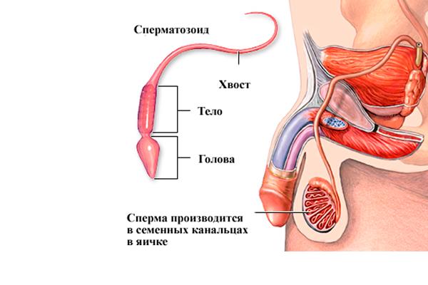 Как понизить пролактин у мужчин: основное лечение для снижения уровня, народные средства и пищевые добавки