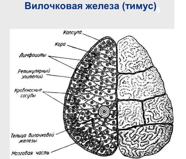 Гормоны вилочковой железы: какие бывают тимуса, эпифиза, его действие