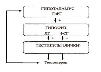 Гипофиз и яички, их подчинение гипоталамусу, ось и дуга взаимосвязи, подавление оси и восстановление дуги