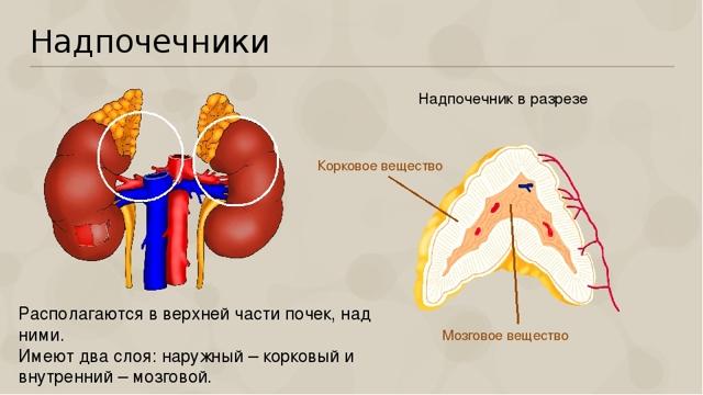 Аденома надпочечника: лечение правого, левого, симптомы и гормоны, диета, народные средства, продукты кораллового клуба, прогноз