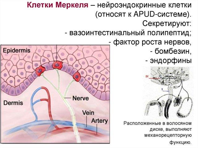 Множественная эндокринная неоплазия: что это, эпидемиология, причины возникновения у детей, 1 и 2 типа