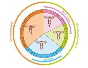 Гормоны первой фазы: какие сдают в первой фазе менструального цикла, норма в показателях