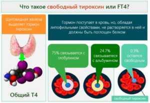 Тироксин общий: анализ, норма у женщин и мужчин, повышен, понижен, общий и свободный Т4, в чем разница
